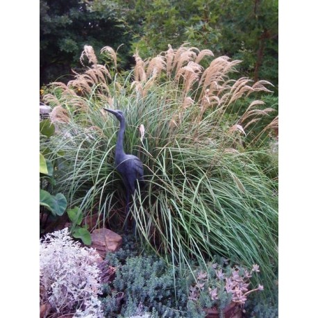CAREX BLUE ZINGER