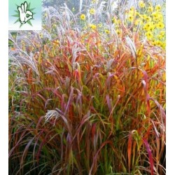 MISCANTHUS ROTER PFEIL
