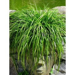 CAREX EVERGREEN