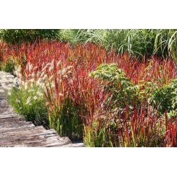 IMPERATA  'RED BARON'