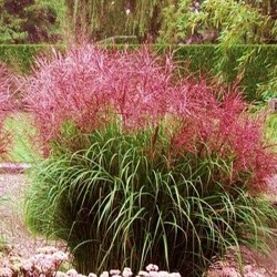 MISCANTHUS CUTE ONE