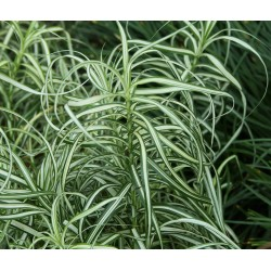 Carex(turzyca palmowa)MUSKINGUMENSIS VARIEGATA