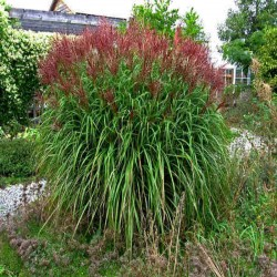 MISCANTHUS 'KRATER'